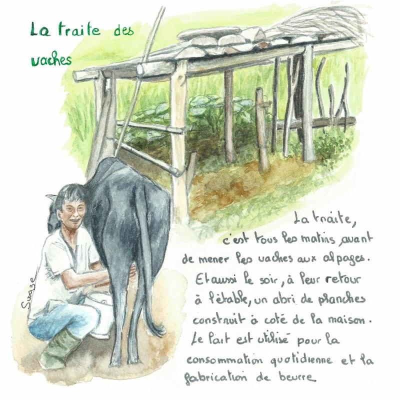Nepal - La traite des vaches